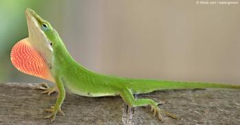 green-anole-lizard-fb